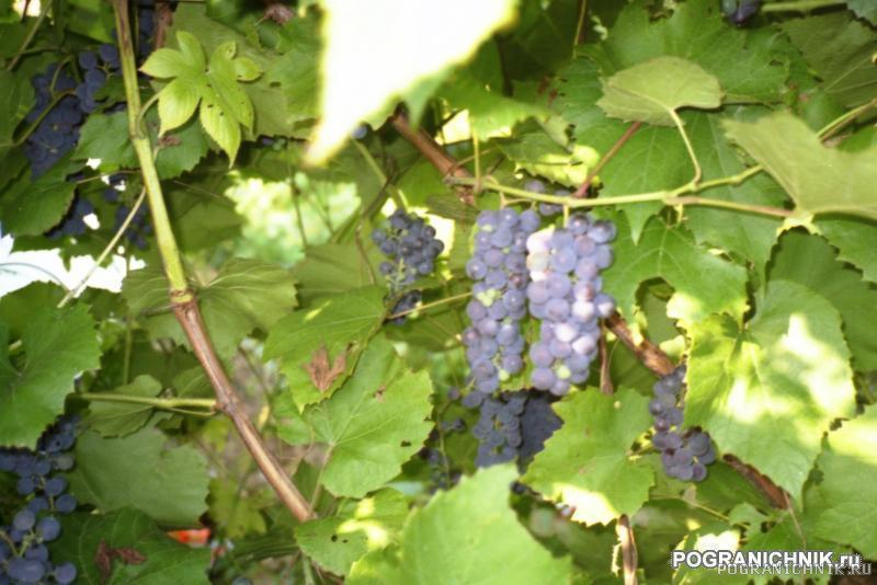 Дальневосточный дикий виноград