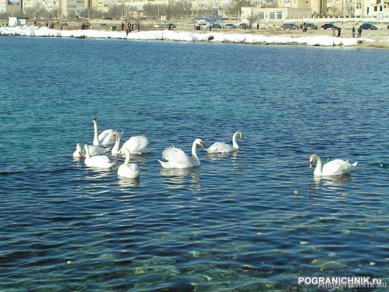 Лебеди2.JPG