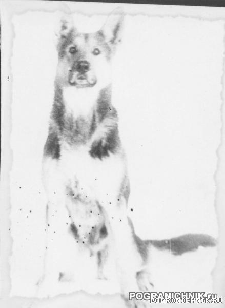 ЧАНДА - бессменная собака инструктора ВЕНТЫ
