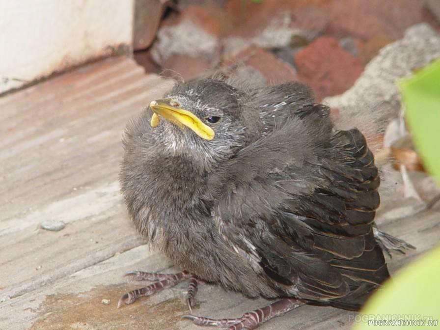 Выпавший из гнезда птенец.