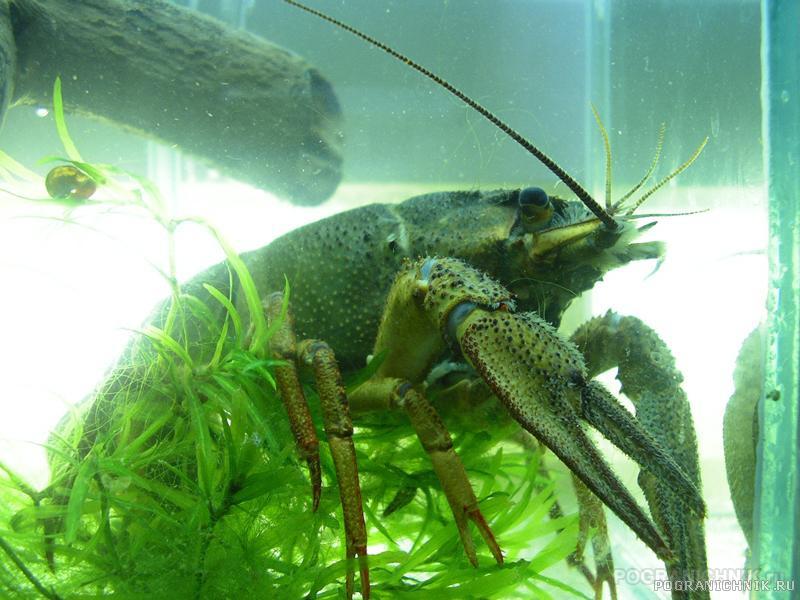 В нашем аквариуме и такие были..