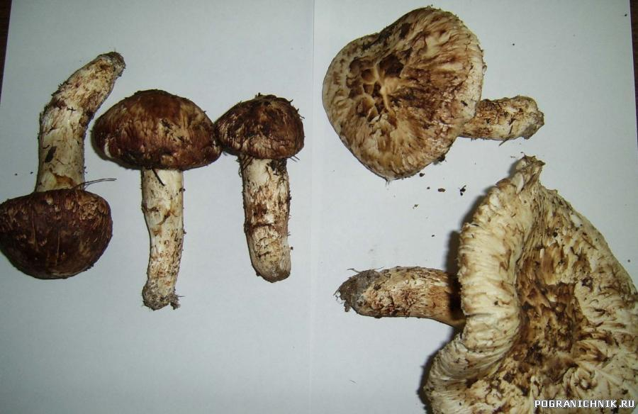 грибы на участке ПОГК - главный интерес китайцев