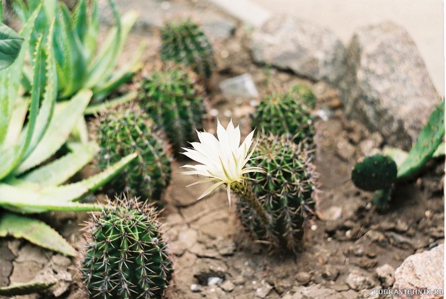 кактусы в цвету,какое чудо.Кактусы в цвету,я не забуду