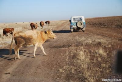 Пограничные коровы))