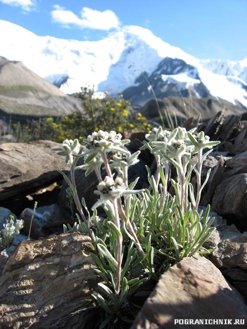 Цветы Баянкола