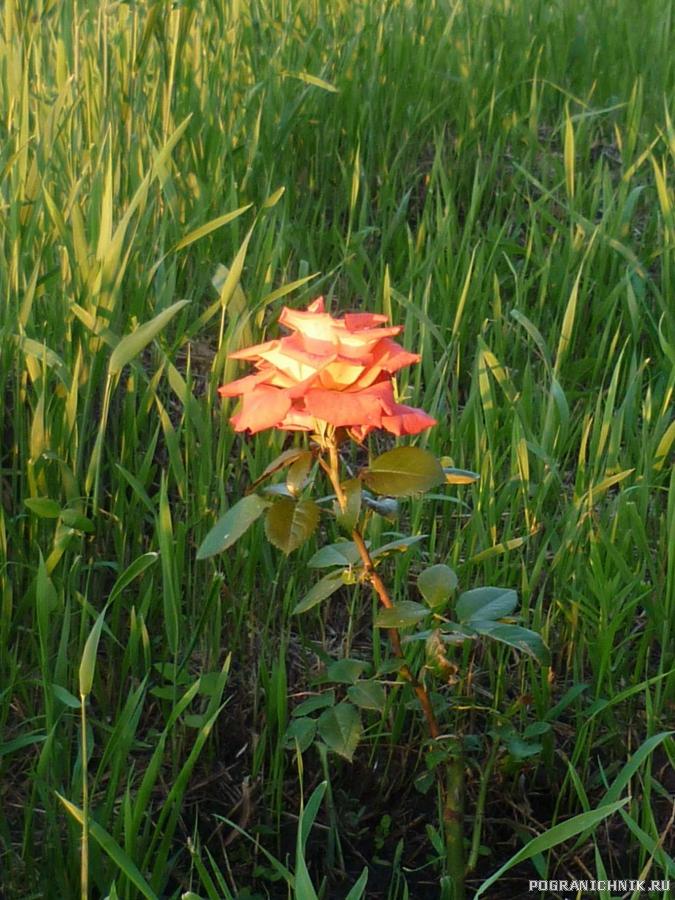 Первая роза.