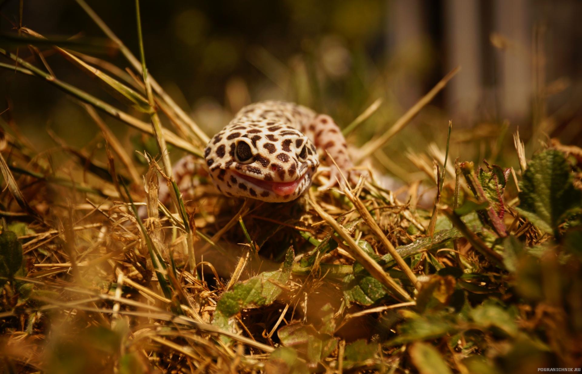 Мой ласковый геккон Стёпа!